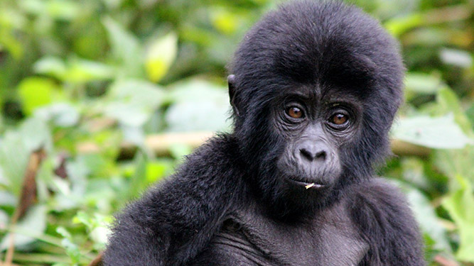 Where to Go in Africa to See Gorillas - baby gorilla