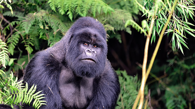 Where to Go in Africa to See Gorillas - silverback