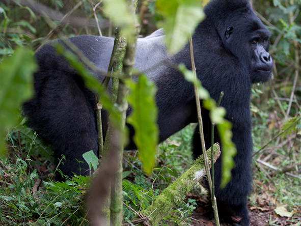 Clouds Mountain Gorilla Lodge - Gallery 2