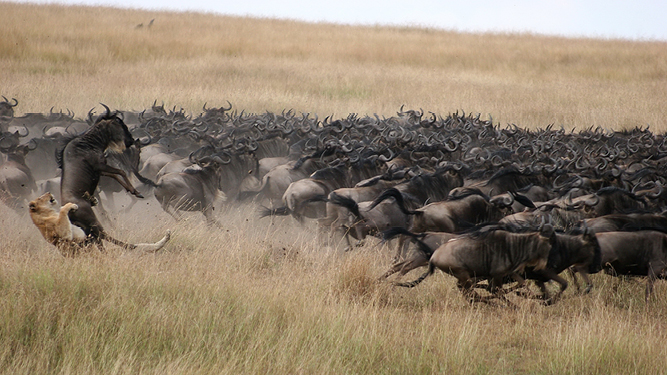 Where to Go in Africa in June - lion kill