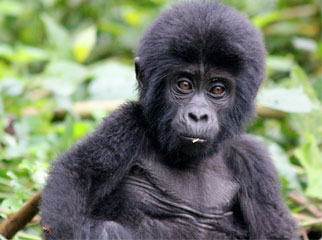 Where to Go in Africa in June - gorilla baby