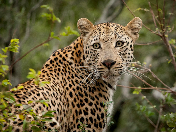 londolozi Tree camp - gallery 1