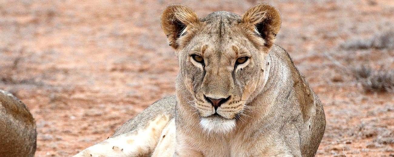 Africa Travel Blog - lioness