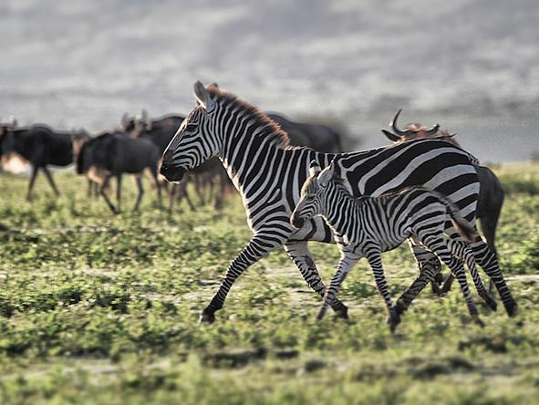 Serengeti, Zebra