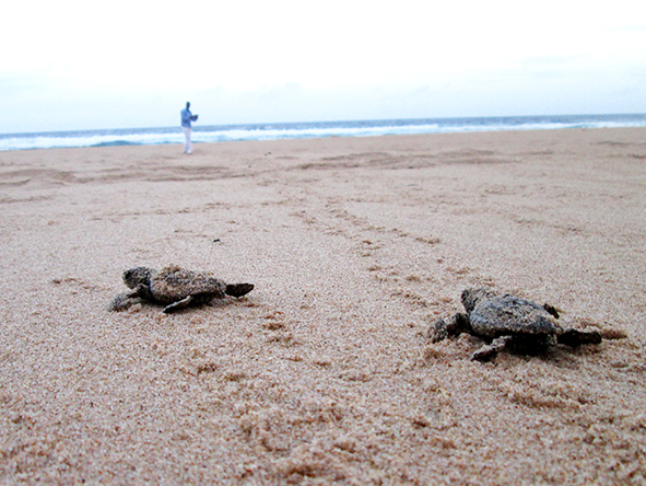Sea Turtles, Mozambique