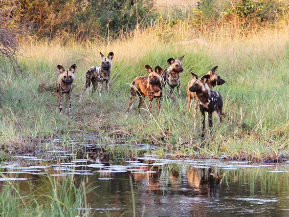 Moremi Game Reserve - Wild dogs