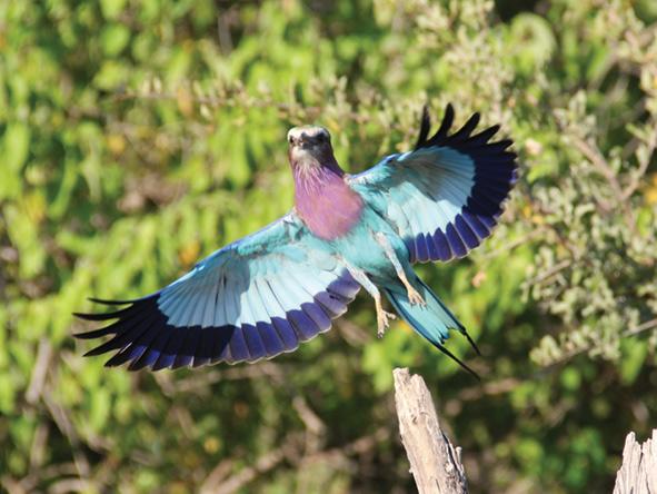Okavango Delta - Lilac breasted roller