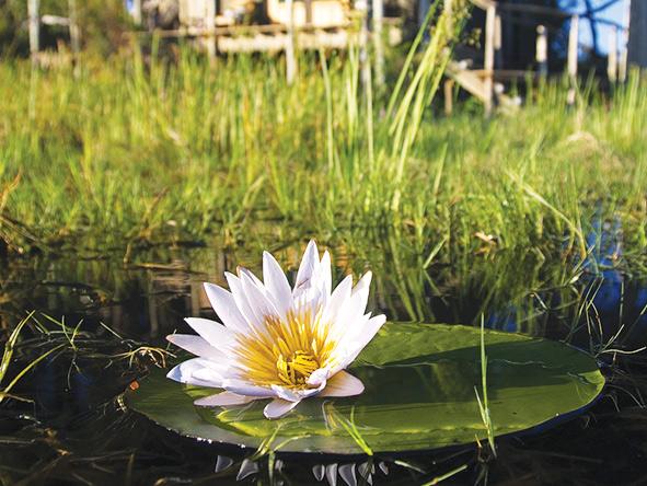 water lillies, Okavango Delta