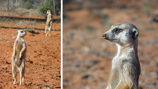 Our Kalahari Safari - meercat family