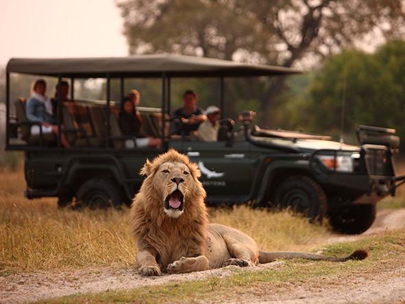 Okavango Delta, lion