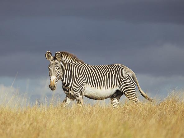 Zebra, Lewa, Kenya