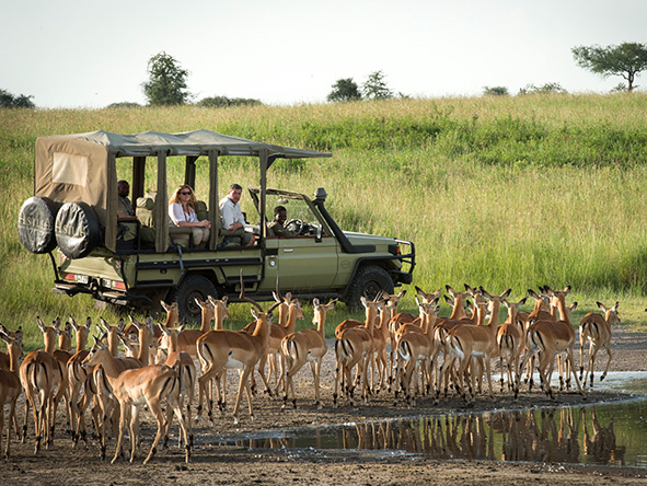 Dunia Camp Safari, Impala