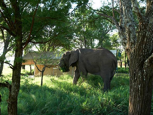 Elephant, Serengeti