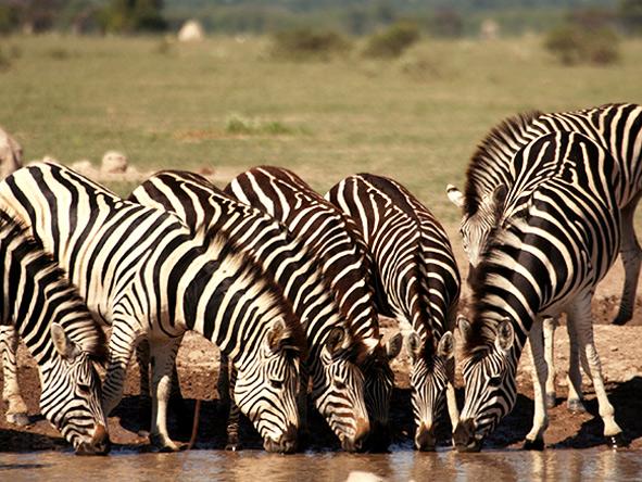 Zebra, Nxai Pan