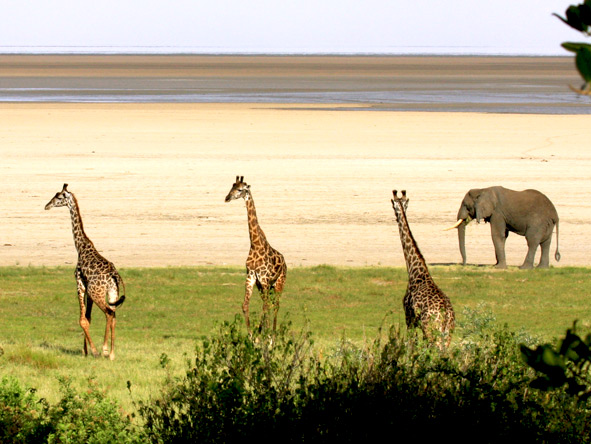 Giraffes and Elephant, Serengeti