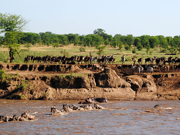 Wildebeest migration river crossings, East Africa