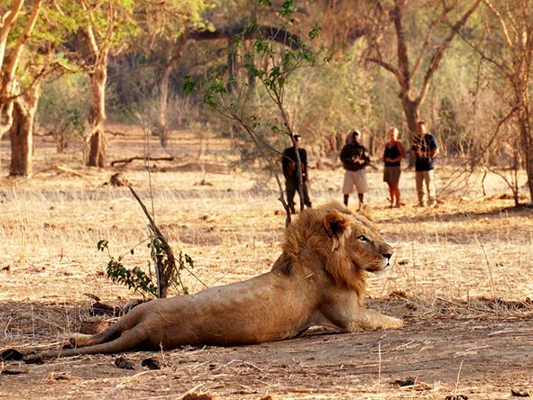 Lion, Lower Zambezi