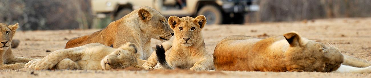 Lions, Chiawa Camp