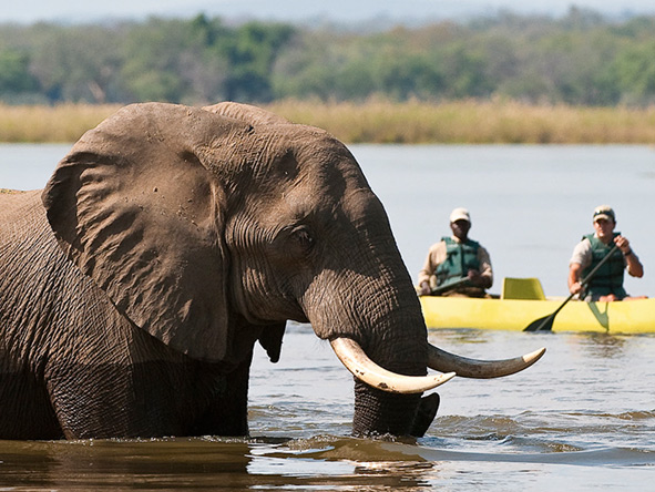 Elephant in the river, Canoe Safari