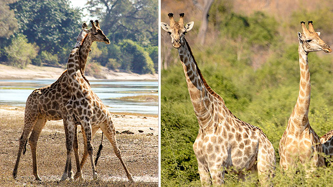 Where to Go in Africa to see Giraffe - side by side
