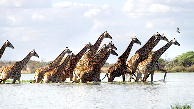 Where to Go in Africa to see Giraffe - in the Selous