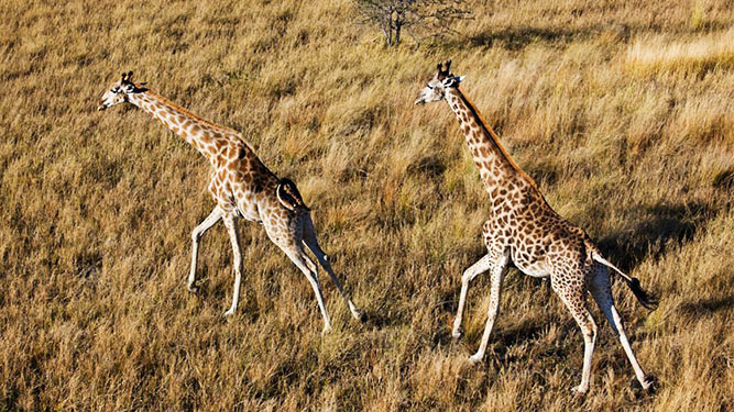 Where to Go in Africa to see Giraffe - in the Okavango Delta