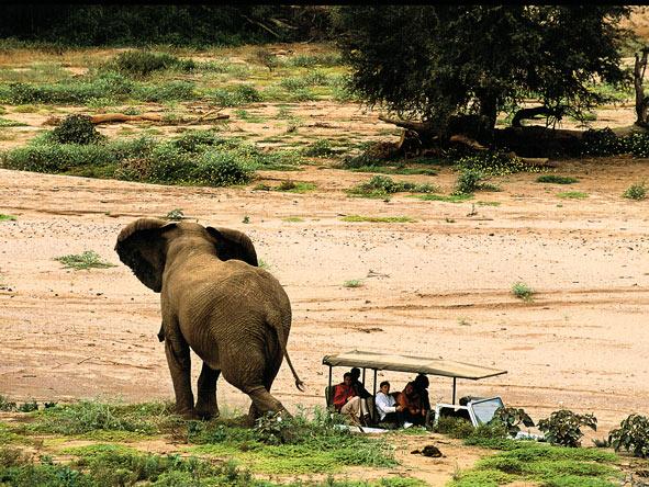 Elephant fanning ears