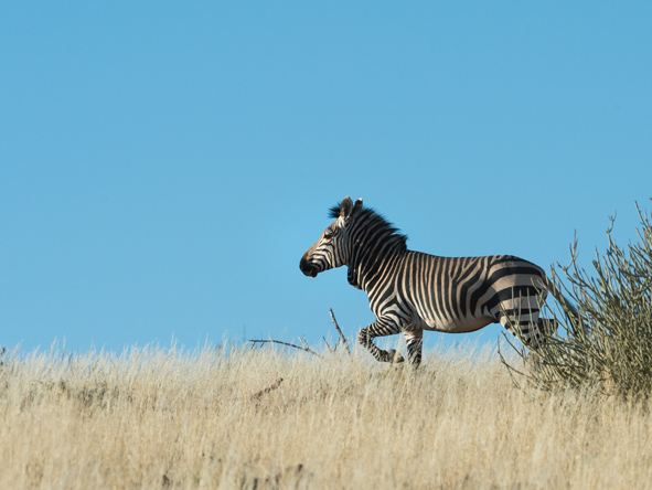 Male Hartmann Mountain Zebra