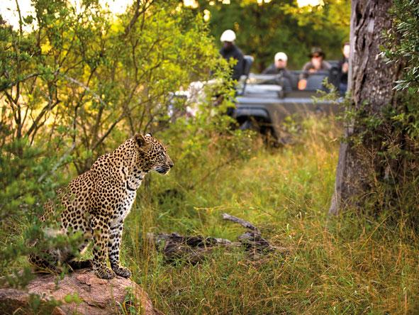 Leopard, Sabi Sands