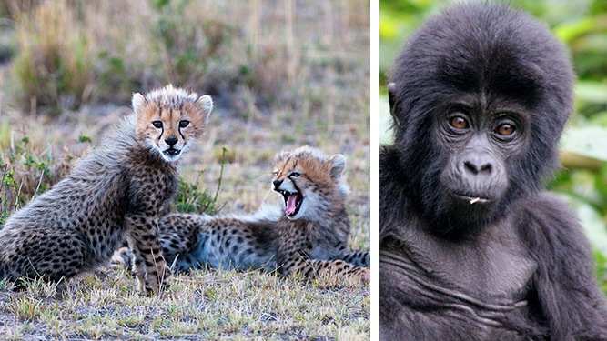 Best African Safari Tours - Luxury Kenya Safari & Uganda Gorillas