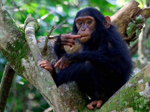 Baby Chimpanzee in a tree