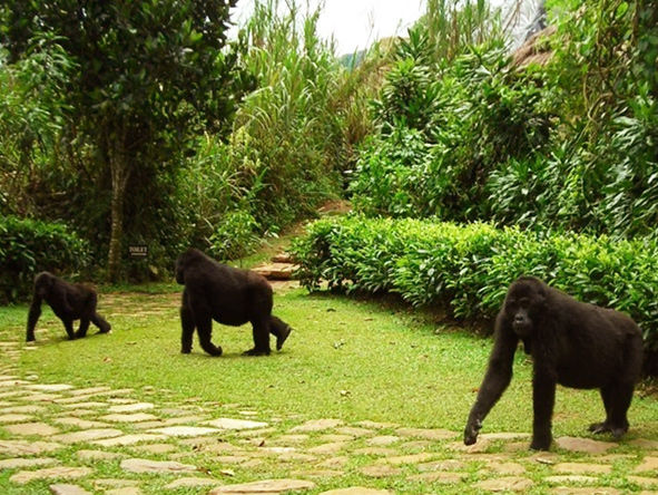 troop of mountain gorillas