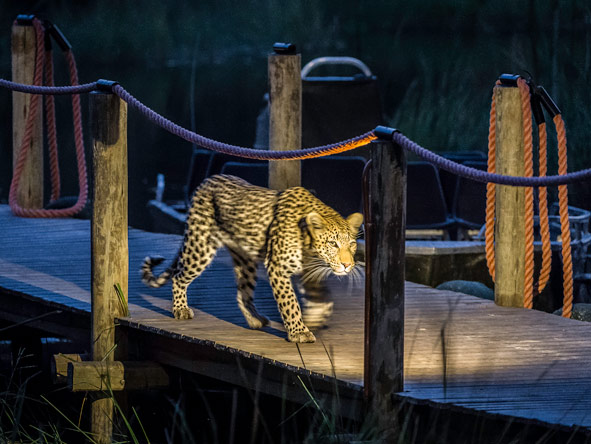 Leopard, Xigera Camp