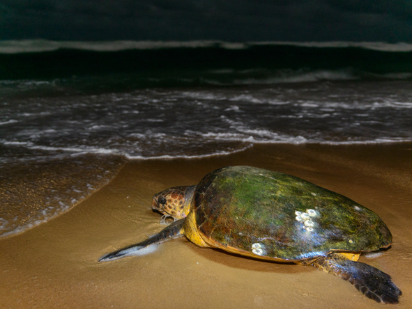 Thonga Beach, Turtles