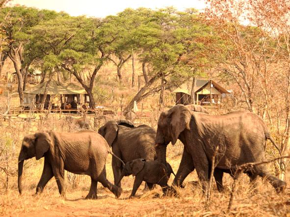 Elephants, Somalisa Acacia