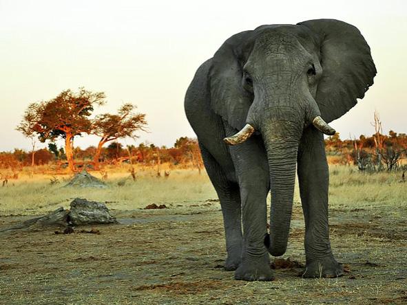 Elephant, Hwange, Zimbabwe