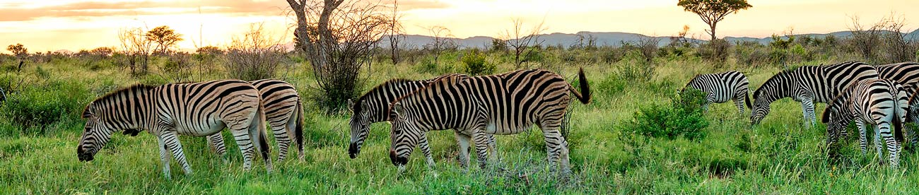 Zebras, Madikwe