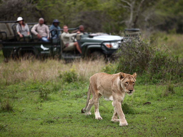 Phinda Game Reserve, Lion