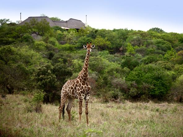 Giraffe, Phinda Reserve