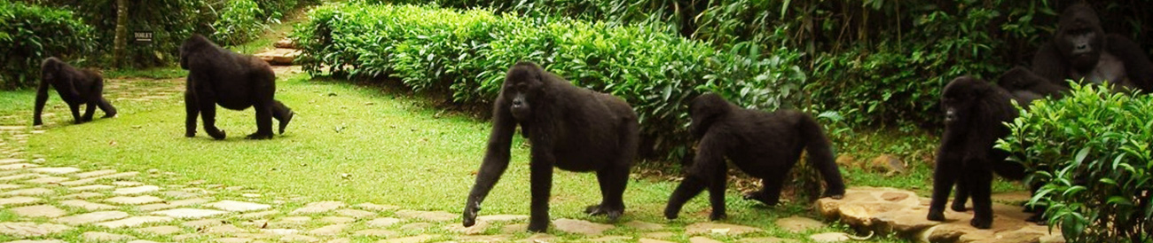 Volcanoes Bwindi Lodge, gorillas