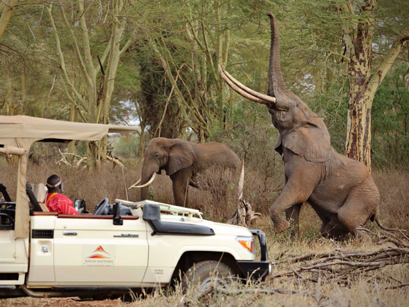 Elephants, Tsavo West National Par