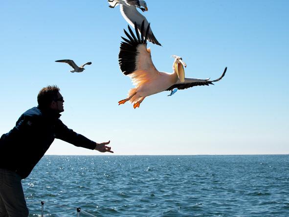 Pelican, swakopmund