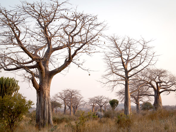 Ancient baobabs