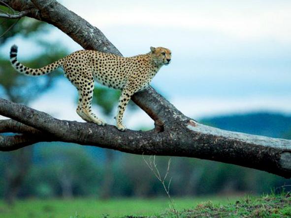 cheetah in the tree
