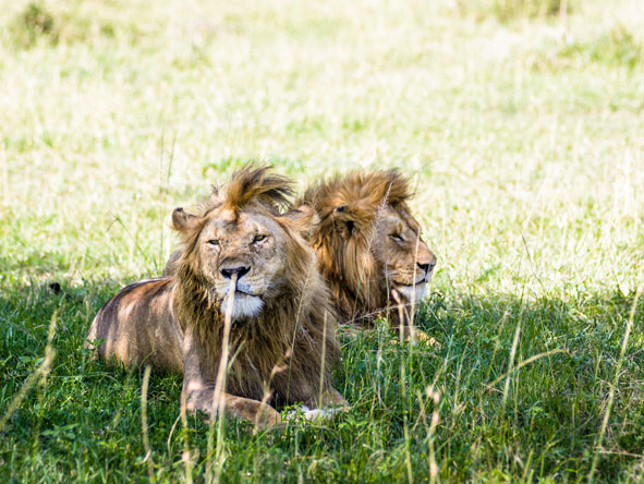 2 male lions resting