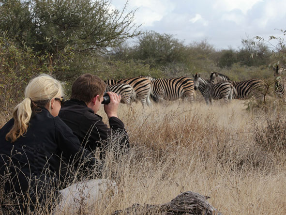 herd of zebra at Timbavati Game Reserve