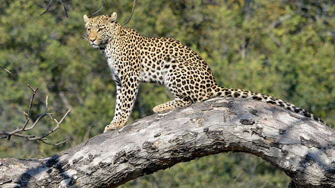 Where to Go in Africa to See Leopards