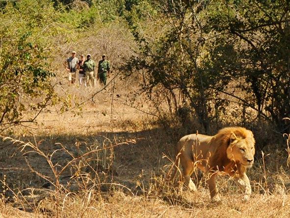 walking safari, lion