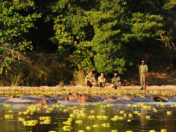 Hippos in the lagoon, south luangwa national park