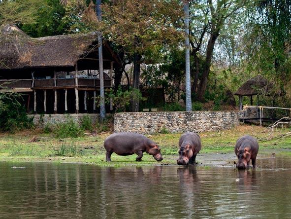 Three hippos